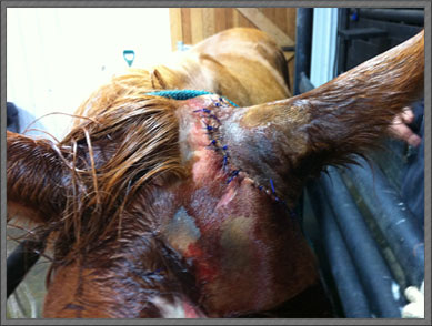 Horse with stitches.